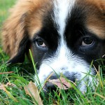 1973839-2-st-bernard-puppy-eyes