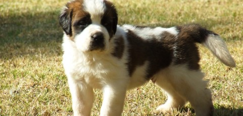 Youngstead Saint Bernards