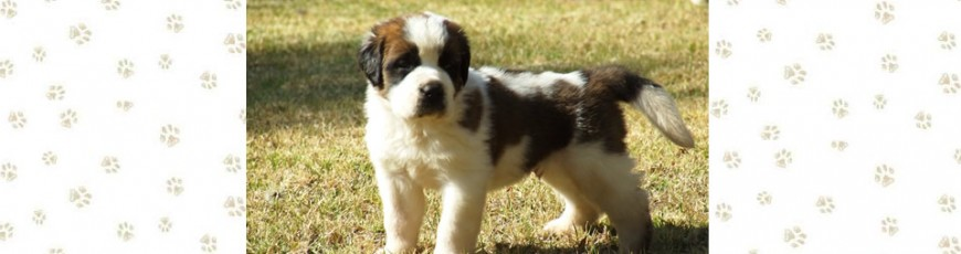 Youngstead Saint Bernard puppies Photos