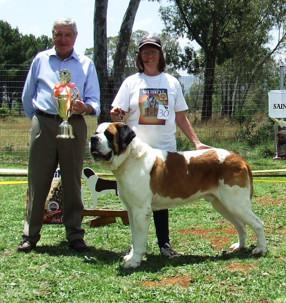 Short Hair Saint Bernards Youngstead Saint Bernards